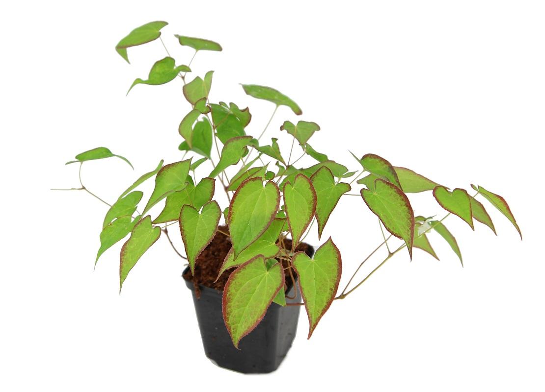 Zdjęcie sadzonki epimedium wielkokwiatowego 'Higoense'