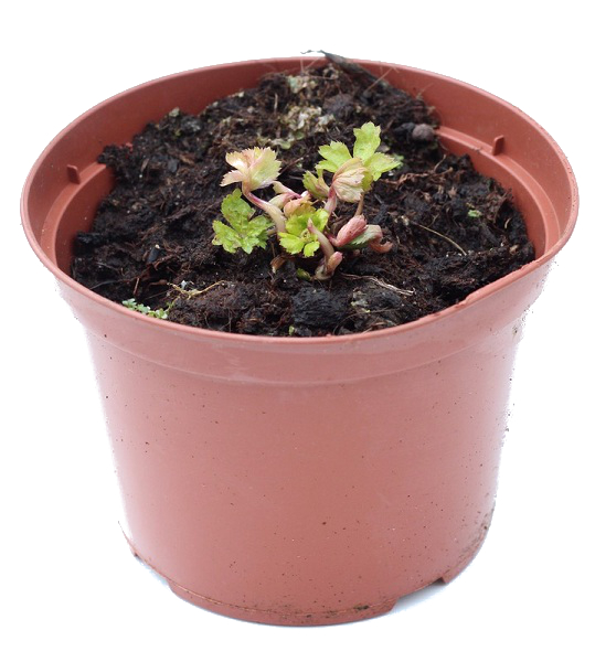 Zdjęcie sadzonki cieszynianki wiosennej