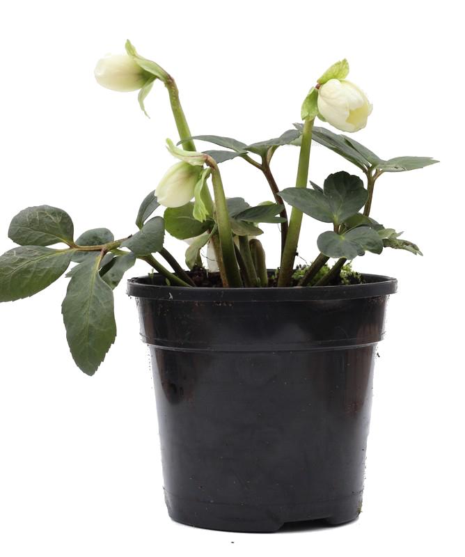 Zdjęcie sadzonki ciemiernika białego