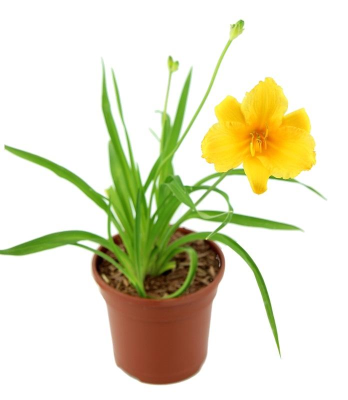 Zdjęcie sadzonki liliowca 'Stella de Oro'