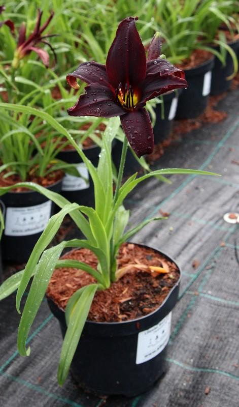 Zdjęcie sadzonki liliowca 'Black Emanuelle'