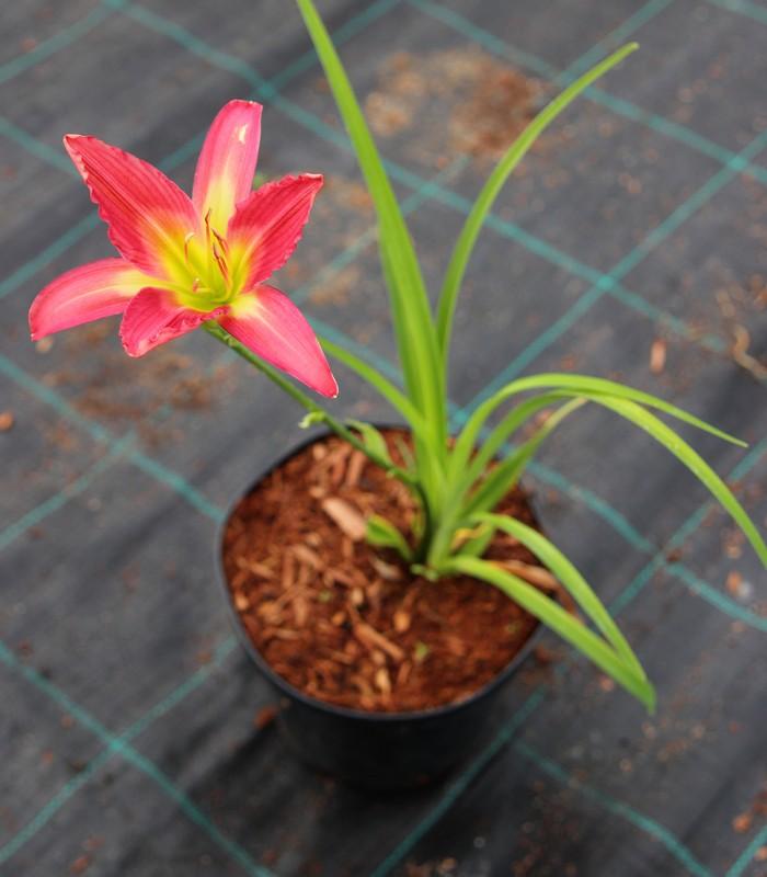 Zdjęcie sadzonki liliowca 'Furgalisus'