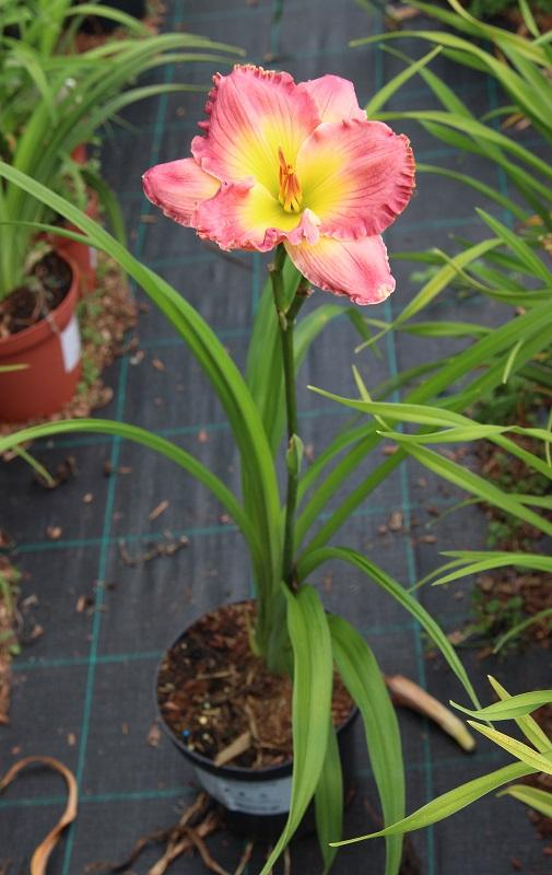 Zdjęcie sadzonki liliowca 'Pink Fang'