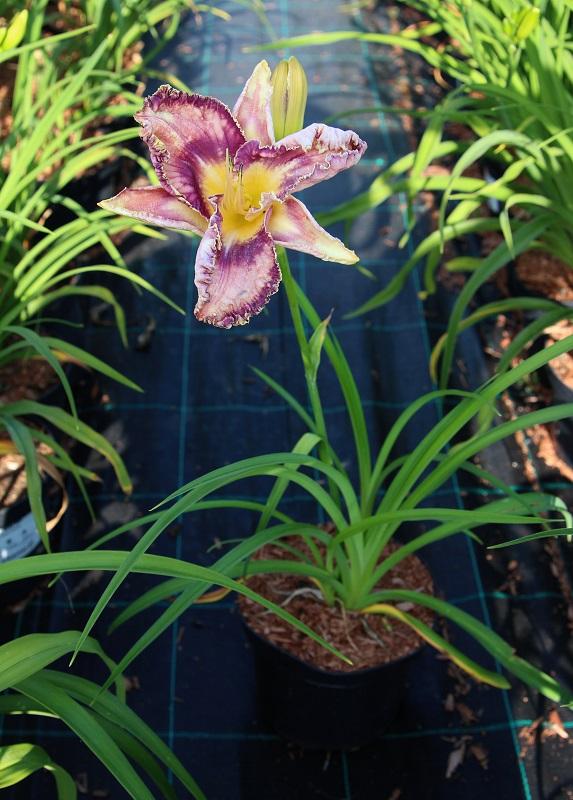 Zdjęcie sadzonki liliowca 'Mildred Mitchell'