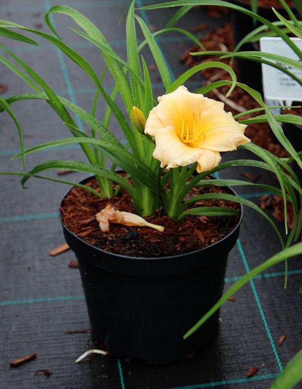 Zdjęcie sadzonki liliowca 'Mini Pearl'