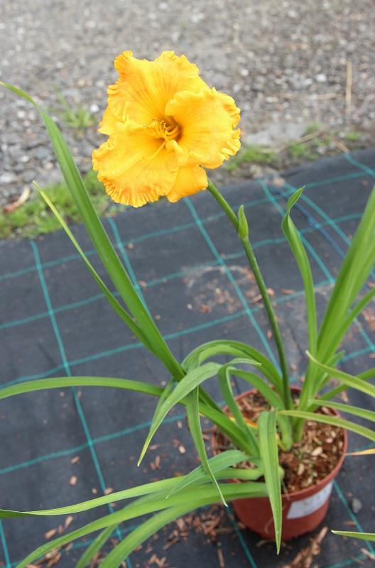 Zdjęcie sadzonki liliowca 'Orange Nassau'