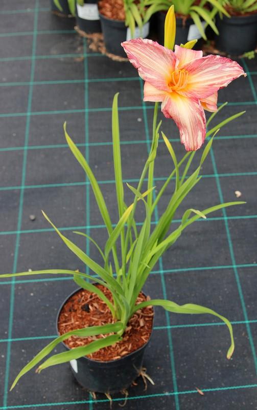 Zdjęcie sadzonki liliowca 'Pink Stripes'