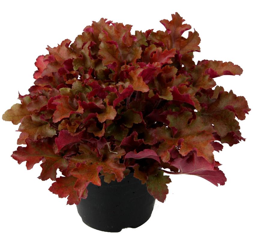 Zdjęcie sadzonki żurawki 'Marmalade'