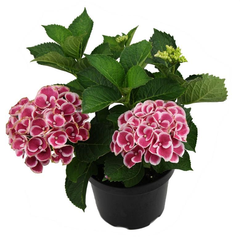 Zdjęcie sadzonki hortensji ogrodowej 'Camilla'