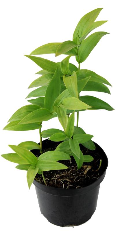 Zdjęcie sadzonki majówki groniastej