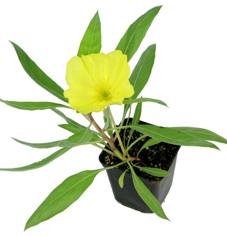 Zdjęcie sadzonki wiesiołka missouryjskiego