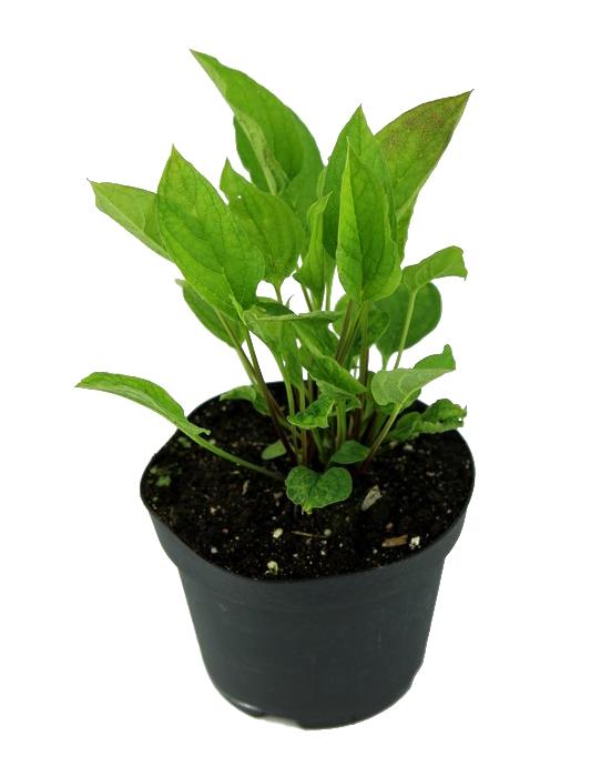 Zdjęcie sadzonki ułudki wiosennej
