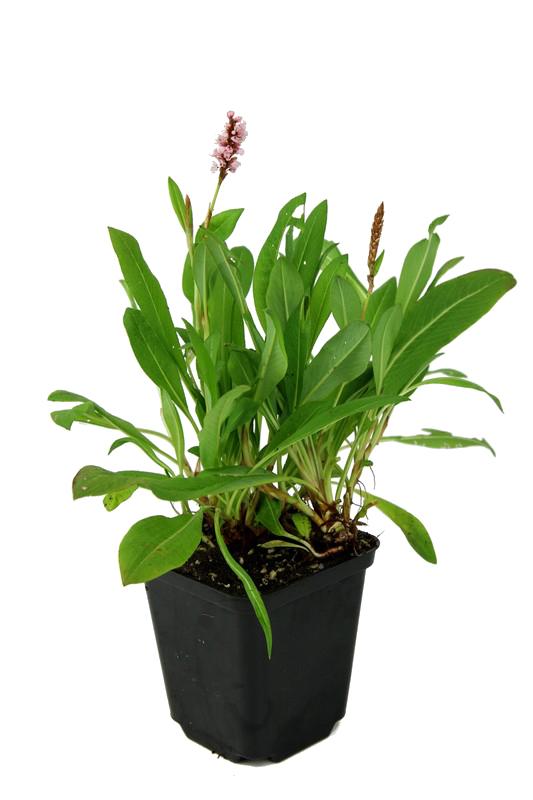 Zdjęcie sadzonki rdestu pokrewnego