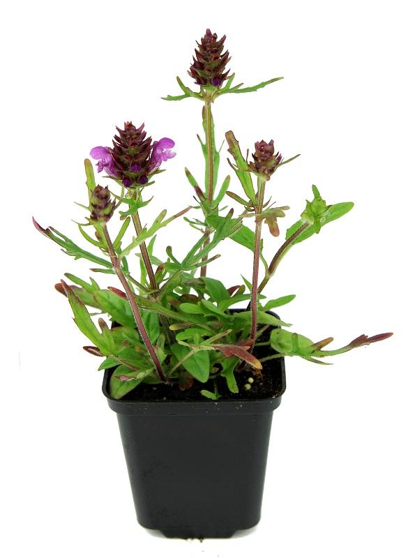 Zdjęcie sadzonki głowienki wielkokwiatowej 'Bella Rose'