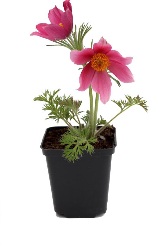 Zdjęcie sadzonki sasanki zwyczajnej 'Rose Shades'