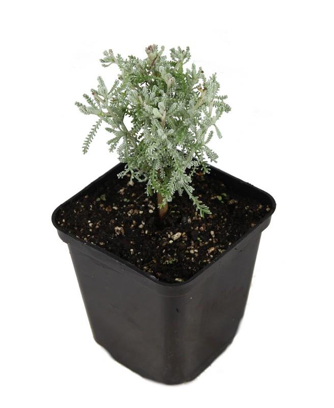 Zdjęcie sadzonki santoliny cyprysikowatej