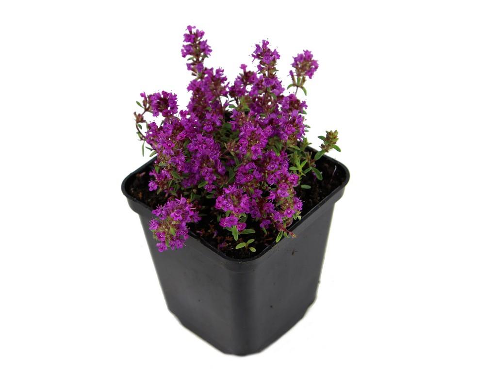 Zdjęcie sadzonki macierzanki wczesnej 'Purple Beauty'